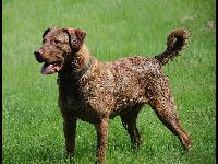 Chesapeake Bay Retriever image