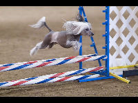 Chinese Crested image