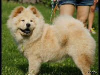 Chow Chow image