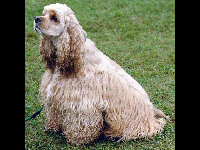 Cocker Spaniel image