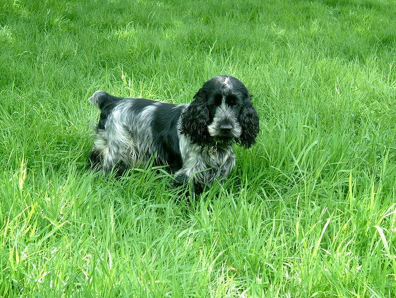 Dog english cocker spaniel information for kids