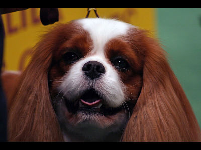 Dog  -  English Toy Spaniel