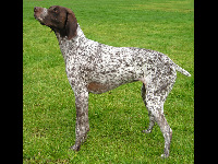 German Shorthaired Pointer image