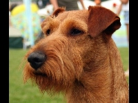 Irish Terrier image