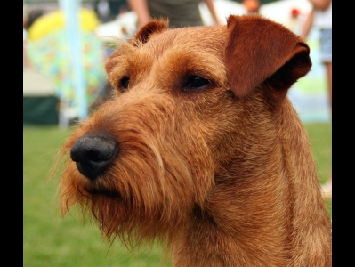 irish terrier coloring pages - photo#38