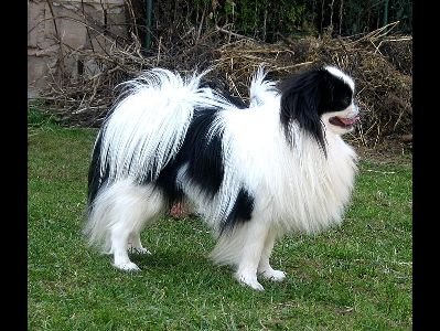 Dog  -  Japanese Chin