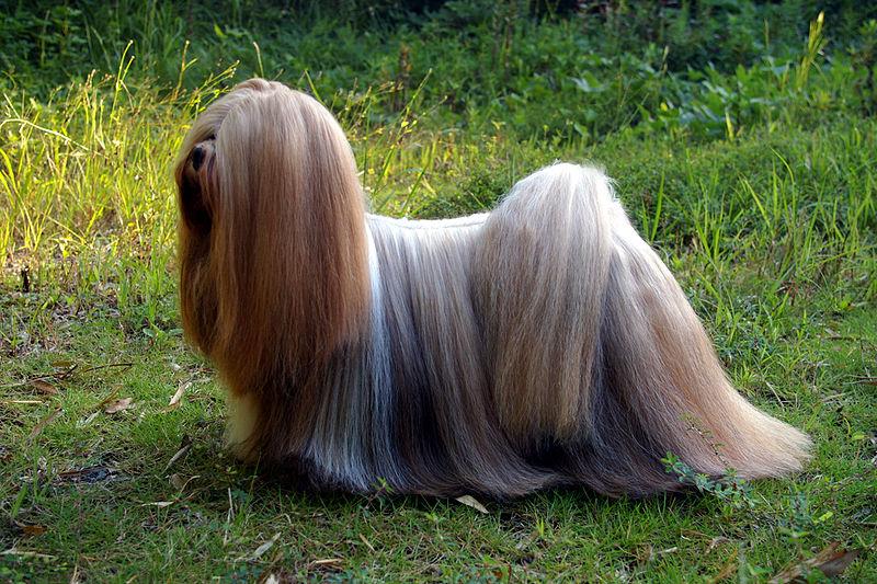 Dog lhasa apso information for kids