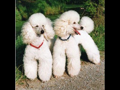 Dog Poodle Information For Kids