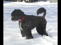 Portuguese Water Dog image