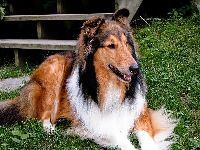 Rough Collie image