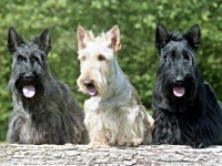 Scottish Terrier image