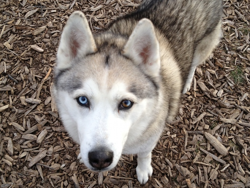 Dog  Siberian Husky Information for Kids