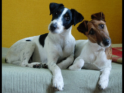Dog  -  Smooth Fox Terrier