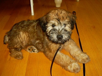Dog Soft Coated Wheaten Terrier
