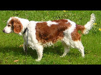 Welsh Springer Spaniel image