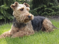 Welsh Terrier image