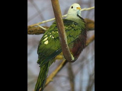 Dove  -  Wompoo Fruit Dove