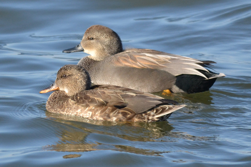 Duck - Gadwall Information for Kids