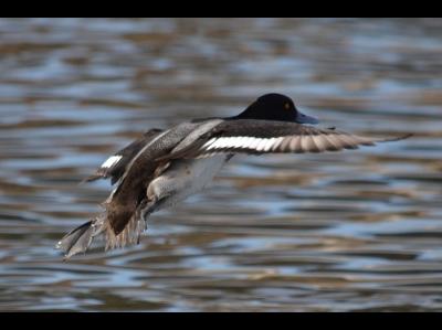 duck/duck_Greater_Scaup