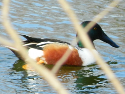 Duck  -  Northern Shoveler