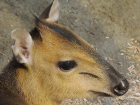 Red-flanked Duiker image