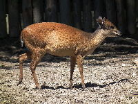 Red Forest Duiker image