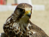 Falcon Information for Kids