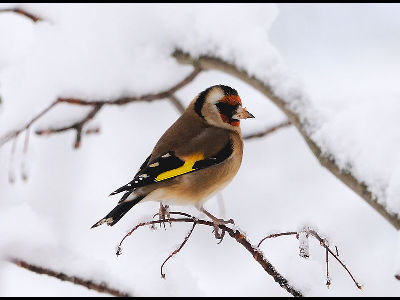 Finch  -  European Goldfinch
