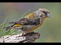 Red Crossbill image