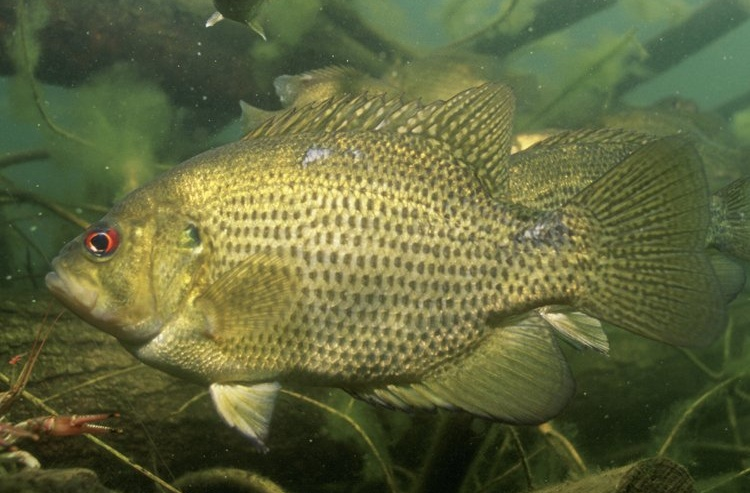 Fish rock bass information for kids for Rock bass fish
