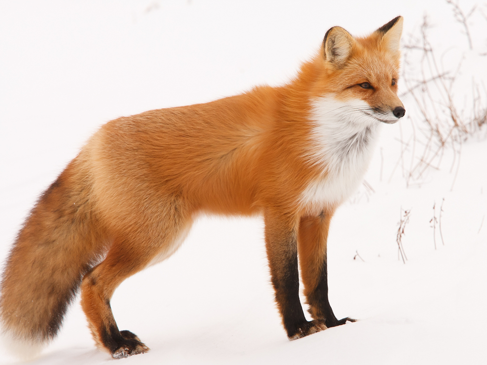 Fox Red Fox Info Photo 4