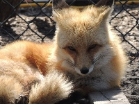 fox/fox_Red_Foximage2