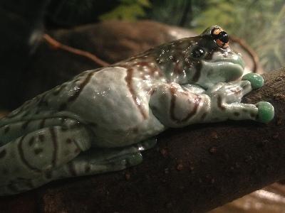 Frog  -  Amazon Milk Frog