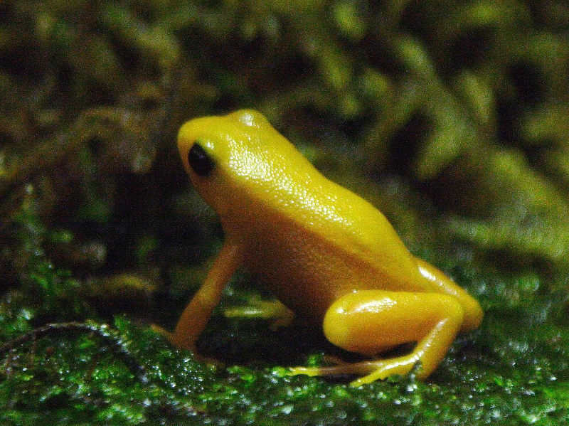 Image Result For Mantella Frog Coloring