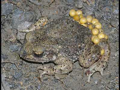 Frog  -  Midwife Toad