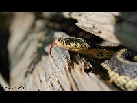 Garter Snake image