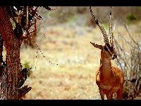 Gazelle image