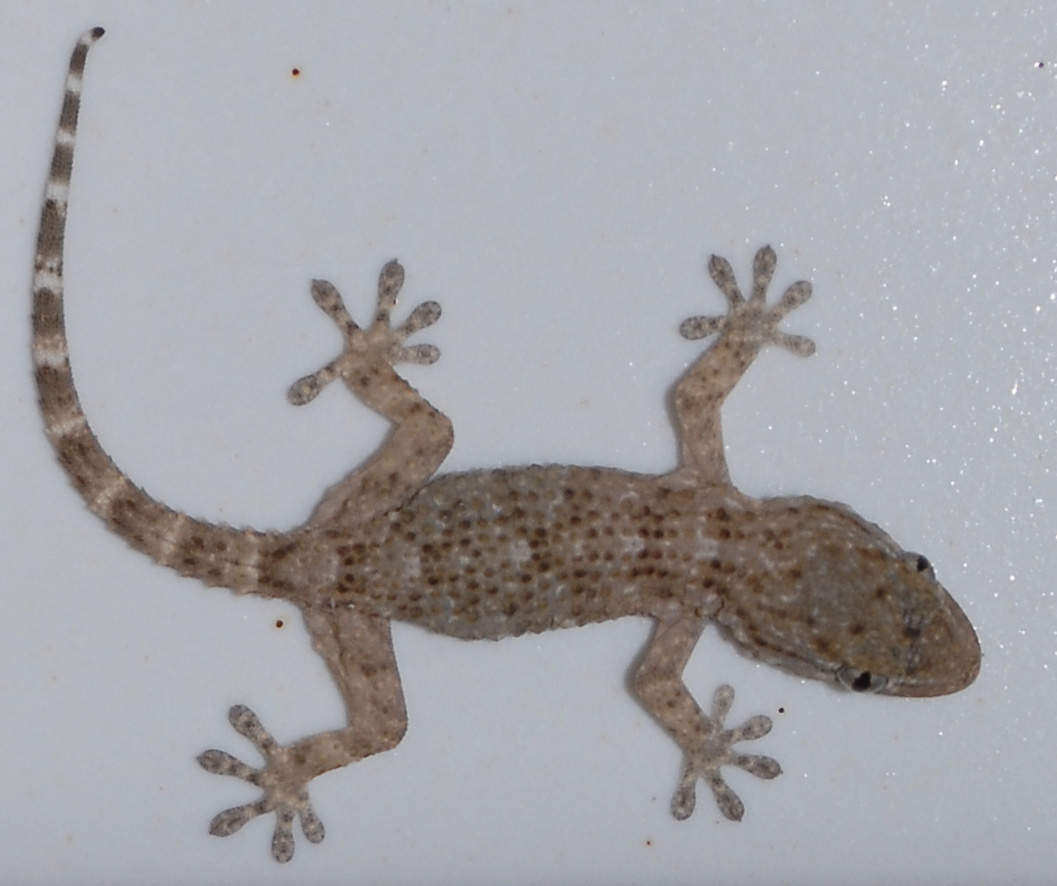 Gecko Info Photo 2
