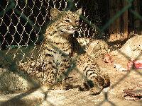 Geoffroy's Cat image
