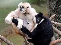 Gibbon Info - Photo 2