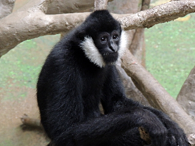 Gibbon  -  Northern White-cheeked Gibbon