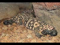 Gila Monster image