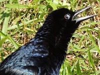 Grackle image