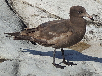 Heermann's Gull image