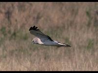 Harrier Information For Kids