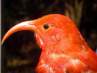 Hawaiian Honeycreeper image