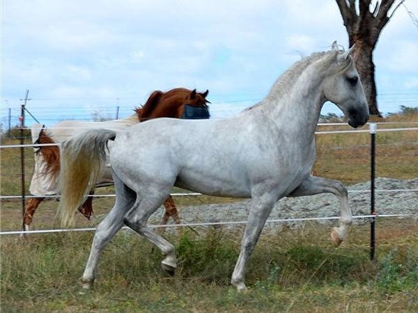 FULLSIZE-horse_Lipizzaner.jpg