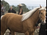 Tennessee Walking Horse image