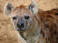 Hyena image