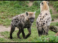 Spotted Hyena image